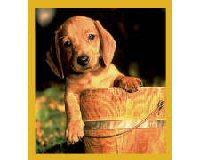 Magnetic Bookmark Dachshund Puppy