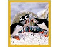 Magnetic Bookmark Puffins' Chat